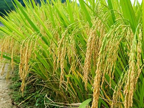 水稻种子怎么选?