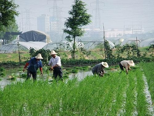 春季水稻如何种植?