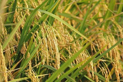 了解水稻的构造